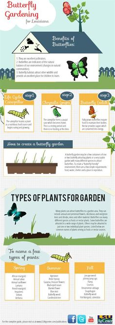 Infographic on Butterfly Gardening. Note: Hidcote lavender hedges will also attract butterflies (and bees) to your garden.