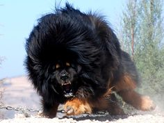 Lion du Tibet enchainé et enragé !!