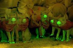 Scientists Create The World's First Glow-In-The-Dark Pigs