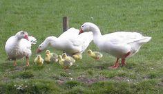 geese - Szukaj w Google