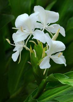 fragrant camia ( also known as white ginger )  .. X ღɱɧღ