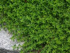 Awesome edible groundcovers-Creeping thyme in my garden.