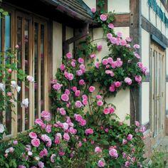 Kletterrosen schneiden blütenpracht rosa hausfassade landhaus