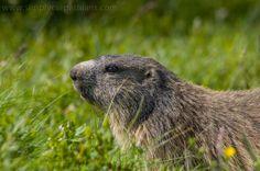 Lovely creature! Marmot in the Tatra Mountains. <B #tatry #wildlife #animals