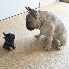 What you looking at?  @katiger_maa, French Bulldog and Mini-Me, #frenchie…