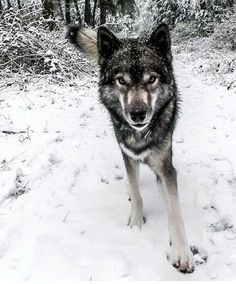 Beautiful Wolves, Most Beautiful Animals, Beautiful Creatures, Wolf Hybrid Puppies, Animals And Pets, Cute Animals, Wolf Stuff, Wolf Pictures, Wild Dogs