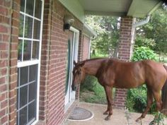 ::Ding dong:: Clever horses! From Mid-South Horse Review - After being let inside during extreme heat, Bar-B now comes to the front door & rings the doorbell wanting in.