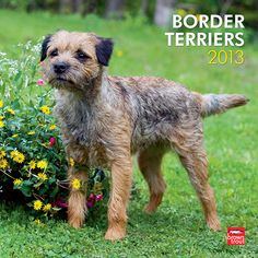 Border Terriers Wall Calendar: A good-natured, loving companion, the Border Terrier was originally bred to hunt foxes that preyed on livestock. These bold, hardy, rough-coated dogs still make fine farm hands, but with their affectionate and friendly nature, they also make extraordinary companions.  $14.99  http://calendars.com/Border-Terriers/Border-Terriers-2013-Wall-Calendar/prod201300004944/?categoryId=cat10101=cat10101#