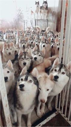 Accessorize Your Pet Cute Husky Puppies, Puppy Husky, Malamute Puppies, Cute Dogs, Alaskan Malamute, Fluffy Puppies, Cute Baby Animals, Funny Animals, Funny Dog Memes