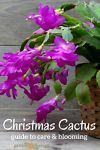 A Christmas cactus in full bloom is a sight to see. It's one of the most stunning flowering houseplants with lobed, cactus-like stems that drape over the plant and end in brilliantly-hued blooms in white,...
