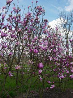 Magnolia, Magnolia 'Susan' Hoogte: 4-6 meter Blad: Langwerpig tot lancetvormig, groen Wintergroen: Nee Bloemen: Opvallende paars/rosé tulpvormige bloemen Vruchten: Onopvallende kleur Toepassing/gebruik: (Kleine)Tuinen/Parken Grondsoort: Alle, geen kalkrijke bodem Lichtbehoefte: Half schaduw Sierwaarde: Bloem Vorm: Hoogstam Synoniem/ Oude naam: Magnolia liliiflora 'Susan' Vanaf: €61,30 Omschrijving: Jong blad is opvallend glanzend donkergroen, in de zomer wordt het doffer. Gelijktijdig met…