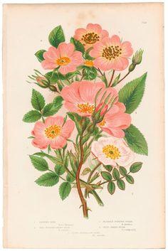 Antique 1860 Anne Pratt Flowering Plants, Plate 71a Various Roses and Briar #Vintage