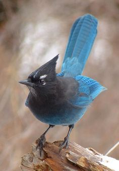 The Steller's Jay (Cyancitta stelleri) The western counterpart to the eastern Blue Jay. These two are our only jay species with crests; both are generalists in diet and adaptable in habitat, living in both forests and tree filled residential areas, foraging on nuts and seeds, insects, eggs, and even small vertebrates. Intelligent birds and talented mimics.