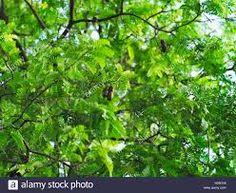 tamarindus – Vyhledávání Google Tamarind, Parsley, Trees, Leaves, Fruit, Google, Food, Tree Structure, Essen