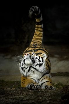 tiger stretching ...Yeah, I'm not a big fan of mammals generally - but I do kinda still have an appreciation for the big cats. ^_-