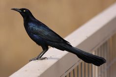 Great-tailed Grackle(Quiscalus mexicanus) - Male - Colors: Black, brown, buff, yellow, iridescent