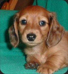 long haired daschund