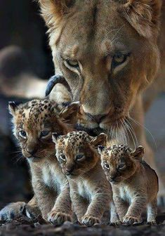 Lioness and cubs Big Cats, Cute Cats, Cats And Kittens, Nature Animals, Animals And Pets, Beautiful Cats, Animals Beautiful, Beautiful Family, Beautiful Babies
