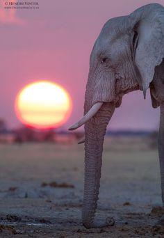 Such a great shot. I'd love to hear them rumble.     #elephant  #elephants  #tusker  #savetheelephants  #love  #dumbo  #ears  #rumble  #bekindtoelephants