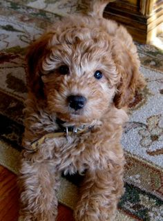 Look at that sweet little face. Goldendoodles... totally adorable!