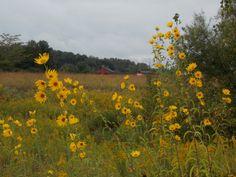 Flowers in a field near Joy, Illinois.