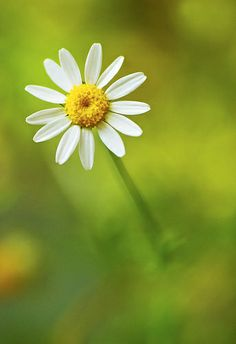 """(by Aramol"""")  The simplicity of a daisy, Lina Widiasana"""