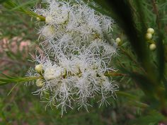 Melaleuca alternifolia (Tea Tree) - cultivated by Arthur Chapman, via Flickr