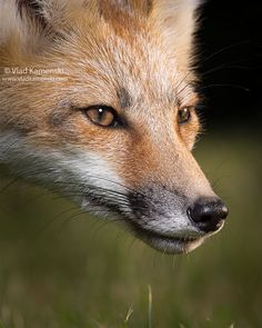Red fox, by Vlad Kamenksi Animals And Pets, Baby Animals, Cute Animals, Wildlife Photography, Animal Photography, Fox Face, Pet Fox, Wild Nature, Animal Faces
