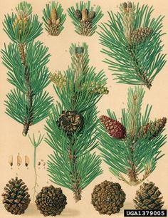 Botanical Illustration, Botanical Prints, Bonsai, Pine Forest, Leaf Art, Antique Prints, Botany, Artsy Fartsy, Fantasy