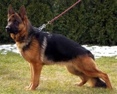 Red German Shepherd