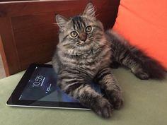 Lurik #persian x ragdoll #kitten #pets #ipad
