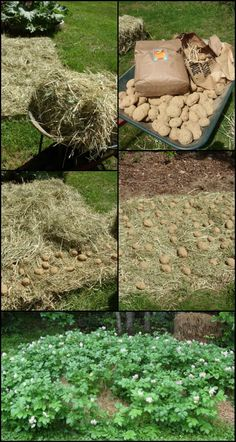 Who doesn't love easy, alternative gardening ideas? Now what we really love about this potato gardening idea is that it almost doesn't require any of the common garden setup - not a 'proper' garden area/soil, not too much space and not even a hoe and a tiller! http://diyprojects.ideas2live4.com/2016/03/25/grow-your-own-potatoes-in-a-pile-of-hay/ Do you want to grow your own, organic potatoes? :)