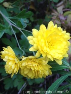 Chrysanthemum, 'garden mum' un-pruned with meandering florets.  www.purplepottingshed.com