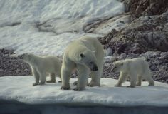 """""""Polar bear and cubs"""" Photo taken by Peter J. #OceanwideExpeditions #PhotoContest"""