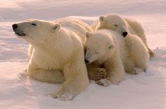 Mama Bear (SaveBiogems.org)