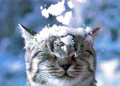 snow kitty