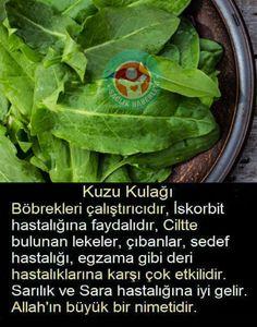 Unutulmaya yüz tutmuş bir bitki: Kuzukulağının faydaları  Kuzu kulağı, son yıllarda tüm dünyada olduğu gibi ülkemizde de popülerliğini artırmaya başlayan bir bitki türüdür. Kuzu kulağı bitkisinin vücuda tüm faydalarını sizler için araştırdık. Natural Health Remedies, Diet And Nutrition, Lettuce, Spinach, Herbalism, Spices, Food And Drink, Herbs, Weight Loss