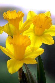 Одноклассники Экзотические Цветы, Желтые Цветы, Весенние Цветы, Красивые Цветы, Цветочный Сад, Желтые Розы, Цветоводство, Тюльпаны