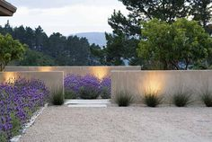 borders of French lavender (lavandula stoechas) and grasses against low rendered walls and gravel by Bernard Trainer Associates