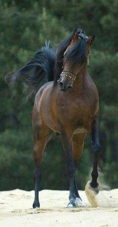 My new horse I'm boarding. Name: Felix Breed: Arabian Gender: Gelding Specializes In: Cross Country
