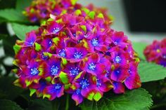 Glam Rock Hydrangea. Awesome colors!!! This would be perfect for a certain garden in Madison, MS... :-)