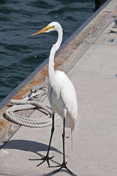 Dockside Egret by Chris S Thorpe, via Flickr