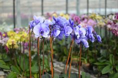 Lavender Myst  Orchids of Interest #SverveTurns1