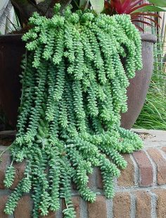 Sedum morganianum - donkey tail  I love the way this cascades down the side of the pot!