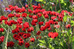 Papaver commutatum backlit   Annie's Annuals & Perennials   Flickr