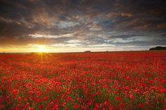 The last rays of sunlight illuminate a stunning field of poppies on Salisbury Plain, Wiltshire U.K