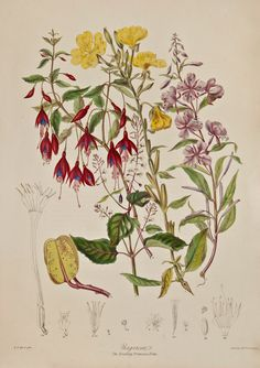 Elizabeth Twining, Evening Primrose Tribe, 1849, 1855. From Illustrations of the Natural Order of Plants.