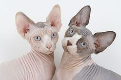 The first you'll notice about the Sphynx cat is the total lack of hair. With a lean, muscular, fit body and a great attitude the Sphynx is a standout among cat breeds. Gato Sphinx, Sphynx Gato, Chat Sphynx, Hairless Cats, Bengal Cats, Gato Cornish Rex, Chat Rex Cornish, Hypoallergenic Cats, Dog Cat