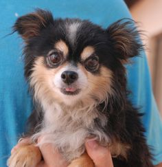 Cuddles is a tiny boy, cuter than a teddy bear, and debuting for adoption today at Nevada SPCA (www.nevadaspca.org). He only weighs 6 pounds, a tri-color Longhair Chihuahua, about 5 years of age and now neutered. Cuddles likes other sweet dogs and gentle people. He is shy with strangers until he knows he can trust them. Cuddles is reportedly crate-trained. His previous owners moved away without him.