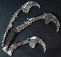 Deinonychus antirrhopus hand - Deinonychus - Wikipedia Dinosaur Claw, Real Dinosaur, Dinosaur Skeleton, Dinosaur Fossils, Prehistoric Animals, Prehistory, Jurassic Park, Science And Nature, Rocks And Minerals